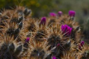 Mojave Desert Blooms